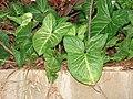 Starr 070124-3835 Syngonium podophyllum.jpg