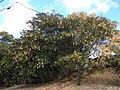 Starr 070221-4658 Albizia lebbeck.jpg