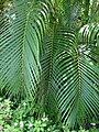 Starr 070321-5962 Chrysalidocarpus lutescens.jpg