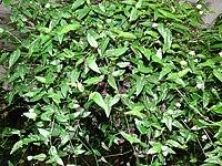 Starr 070906-8791 Tradescantia multiflora.jpg