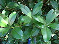 Starr 071024-0448 Eugenia brasiliensis.jpg