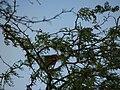 Starr 080208-2426 Prosopis pallida.jpg