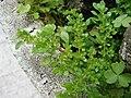 Starr 080531-4779 Pilea microphylla.jpg