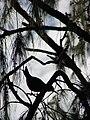 Starr 080614-8895 Casuarina equisetifolia.jpg