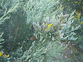 Stauracanthus boivinii 3.JPG