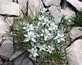 Stelle alpine - Monte Vettore - Sella delle Ciaule.jpg