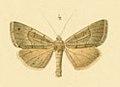 Stenodrina paupera Romanoff 1885.jpg