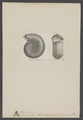 Stephanoceras - Print - Iconographia Zoologica - Special Collections University of Amsterdam - UBAINV0274 005 10 0018.tif