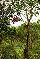 Sterculia lanceolata 2.jpg