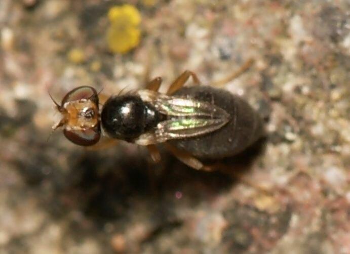 Stiphrosoma.sabulosum.short.winged