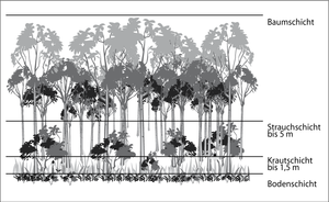 Stratification (vegetation) - Vertical classification of vegetation in a forest showing the tree, shrub and herbaceous layers and the forest floor
