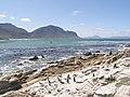 Stony Point Penguin Colony - panoramio (16).jpg