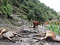 Stranded mules on a mountain trail during the Uttarakhand Floods of 2013 as encountered by People for Animals during a rescue operation.jpg