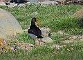 Strandskata Oystercatcher (14287276920).jpg