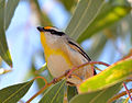 Striated Pardalote (Brisbane).jpg
