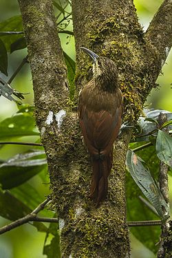 Strong-billed Woodcreeper - Colombia S4E0111 (16548256937).jpg