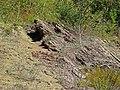 Structurally overturned sedimentary rocks (Hinton or Bluefield Formation, Upper Mississippian; Rt. 460 roadcut through Divide Ridge, between Oakvale & Kellysville, West Virginia, USA) 10 (30725021165).jpg