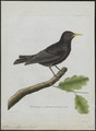 Sturnus vulgaris - 1790-1796 - Print - Iconographia Zoologica - Special Collections University of Amsterdam - UBA01 IZ15800073.tif