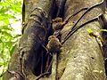 Sulawesi trsr DSCN0457 v1.JPG