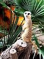 Suricat Barcelona Zoo.jpg