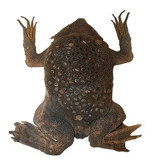 Common Suriname toad - Image: Surinam toad (D Fd B)
