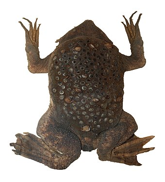 Image result for surinam toad