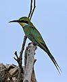 Swallow-tailed bee-eater, Merops hirundineus, at Elephant Sands Lodge, Botswana (31445019794).jpg