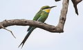 Swallow-tailed bee-eater, Merops hirundineus, at Marakele National Park, Limpopo, South Africa (23899336820).jpg