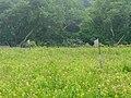 Swallows in the Trustom Pond field (12271).jpg