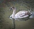 Swan (31520272381).jpg