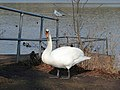 Swan in Thornton Reservoir carpark - geograph.org.uk - 331933.jpg
