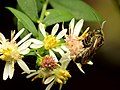 Sweat Bee (30840405540).jpg