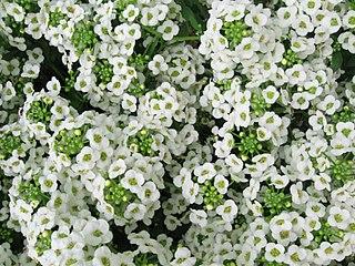 <i>Lobularia maritima</i> species of plant