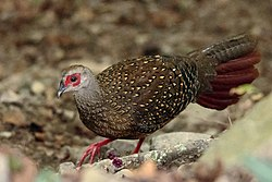 Swinhoe's Pheasant Female.jpg