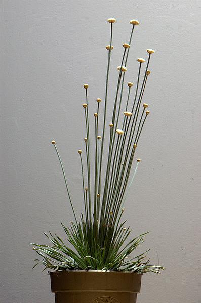 syngonanthus mikado wiki
