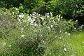 Syringa persica kz7.jpg