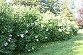 Syringa vulgaris 11zz.jpg