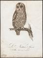 Syrnium aluco - 1800-1812 - Print - Iconographia Zoologica - Special Collections University of Amsterdam - UBA01 IZ18400151.tif