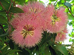 Flowering Lilly Pilly (Syzygium luehmannii)