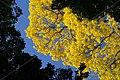 TREE YELLOW LAPACHO SURINAM AMAZONE SOUTH-AMERICA (32862711402).jpg