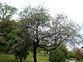 Taban Park Botanical nature trail. Senjed (Elaeagnus angustifolia). - Budapest.JPG