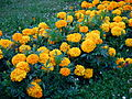 Tagetes orange.JPG