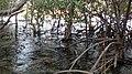 Taklong Island Magroves.jpg