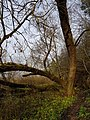Tamme paljandi opperada puu.jpg