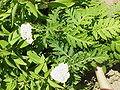 Tanacetum macrophyllum-Stueber3.jpg