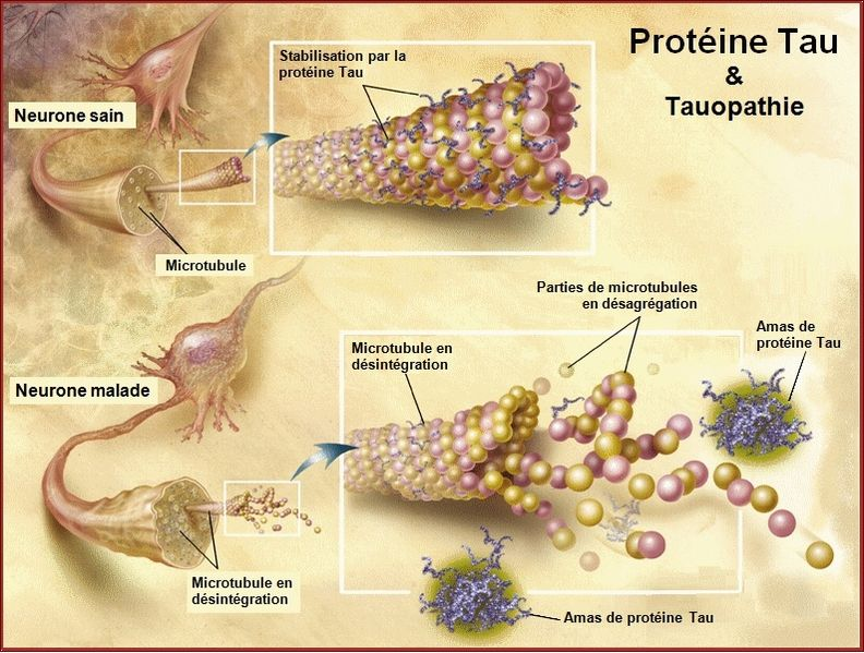 File:TauProtein.jpg