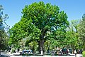 Tavrida oak3.jpg