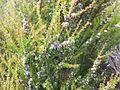 Taxandria parviceps foliage and flowers.jpg