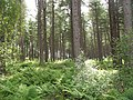Tentsmuir Forest - geograph.org.uk - 1452414.jpg
