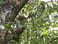 Terminalia chebula (Myrobalan) leaves in RDA, Bogra 02.jpg